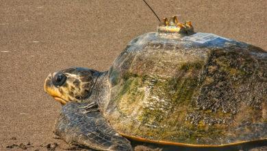 Photo of Cambio climático pone en riesgo reproducción de tortugas marinas