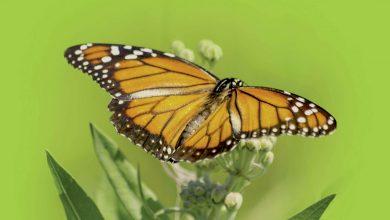 Photo of Mariposas monarca, migración en ruta de extinción